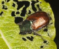 Les larves de l'otiorhynque combattre avec les nématodes