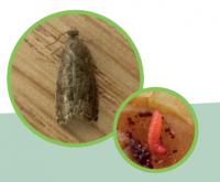 Piège Delta contre le carpocapse des prunes