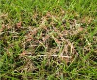 Le fil rouge dans le gazon, causé par une structure du sol médiocre