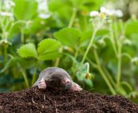 Bescherm je tuin tegen mollen