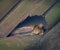 Oplossing tegen muizen en ratten in huis