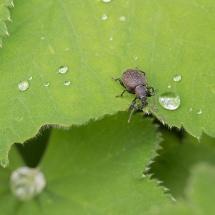 Taxuskever bestrijden