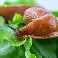 Slakken bestrijden met aaltjes