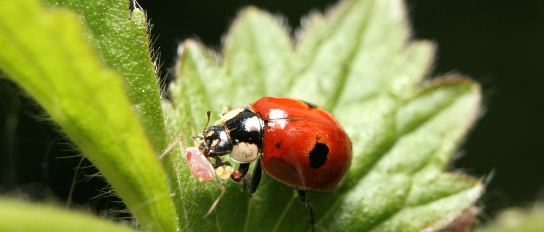 Lieveheersbeestje om plagen te bestrijden
