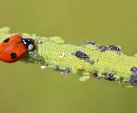 Lieveheersbeestjes tegen bladluis